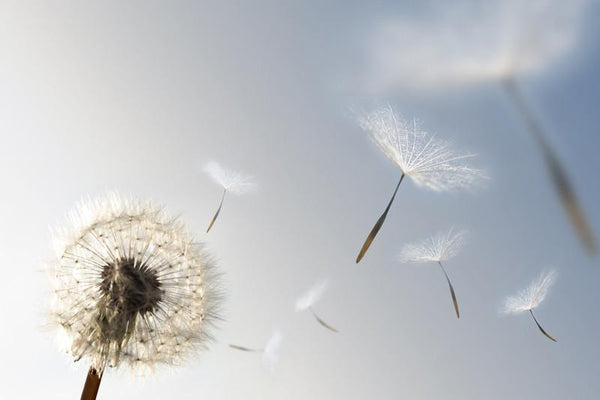 Dandelion blowing seeds in the wind Wall Mural-Florals,Macro,Featured Category of the Month-Eazywallz