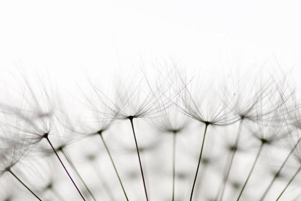Dandelion seeds Wall Mural-Florals,Macro,Featured Category of the Month-Eazywallz