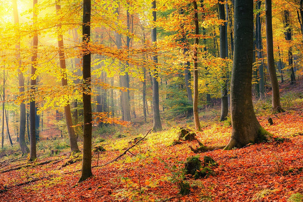 Marvelous Forest In Autumn Wall Mural Part 27