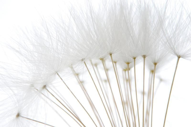 Soft white dandelion seeds Wall Mural-Florals,Macro,Featured Category of the Month-Eazywallz