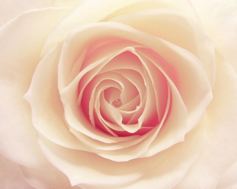 White rose Wall Mural-Florals,Macro,Featured Category of the Month-Eazywallz