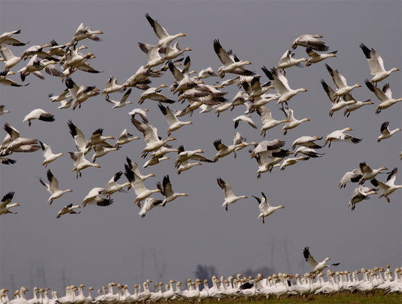 Snow Geese Gathering