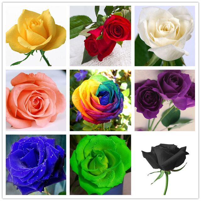 Flower Seeds Rose Seeds Colorful Roses Four Seasons Balcony Potted 10 Colors Special Price 50 Seeds