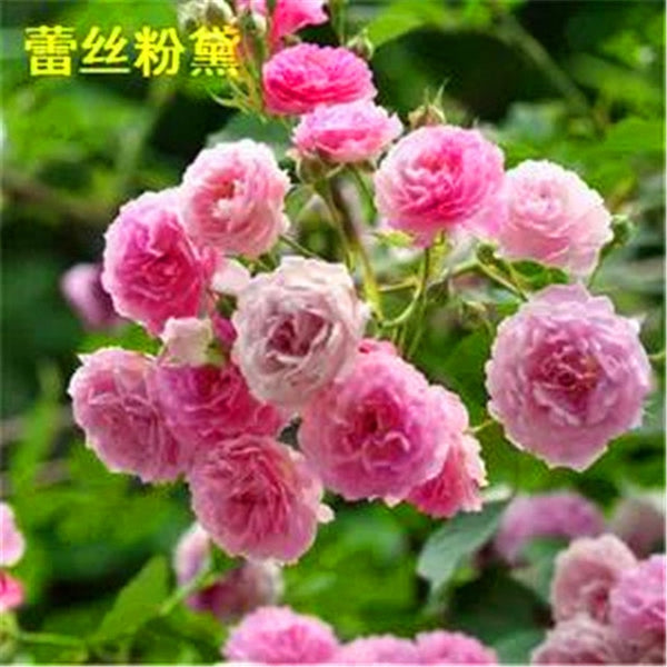 50 PCS Rose seed Climbing seedlings climbing flowers Indoor balcony potted plants Rose seed