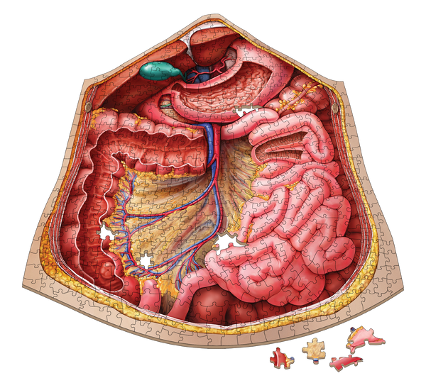 Human Abdomen Anatomy Jigsaw Puzzle | Unique Shaped Science Puzzles with Accurate Medical Illustrations