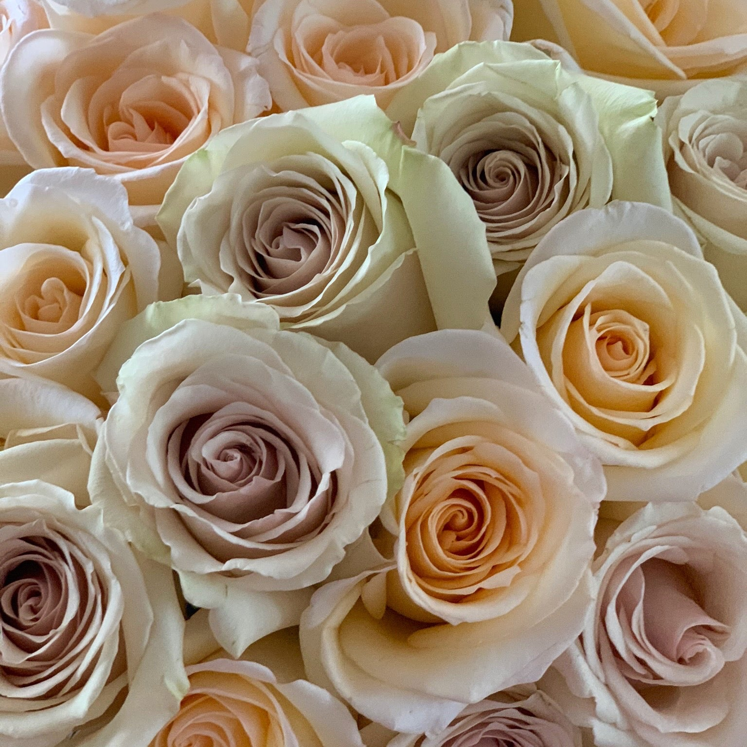 Cream Dazzler Long Stem Roses