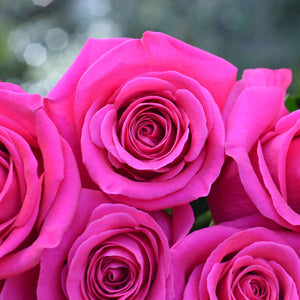 Hot Pink Long Stem Roses