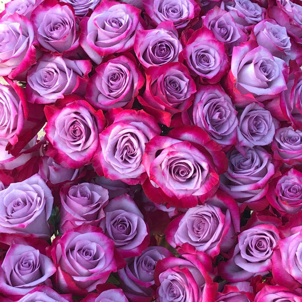 Magenta & Lavender Bi-Color Stunner Long Stem Roses