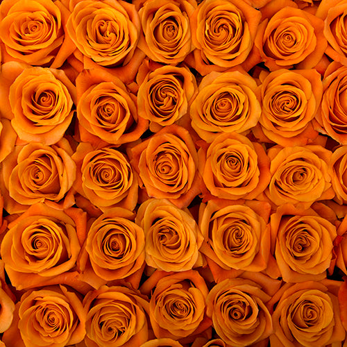 Orange Citrus Long Stem Roses