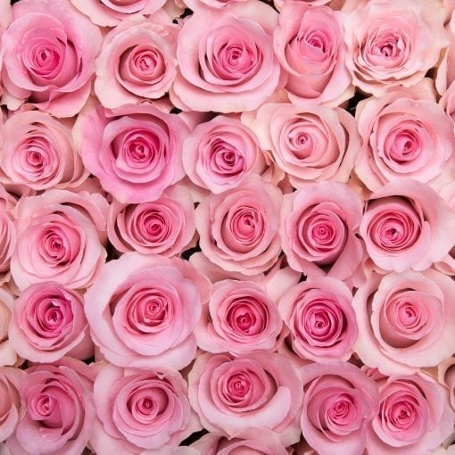 Pink Passion Long Stem Roses