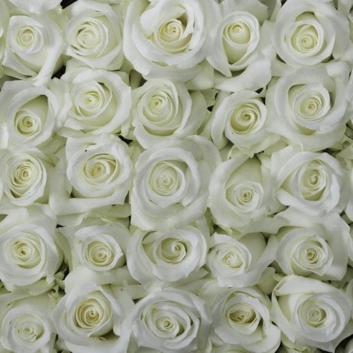 White Pure Long Stem Roses