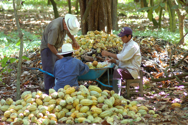 Fairtrade farmers harvesting cacao pods in Mexico