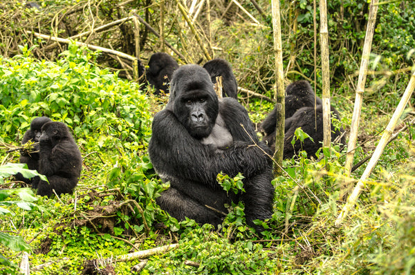 African Animal Facts - Gorillas