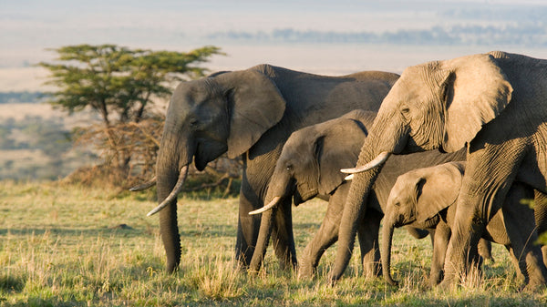 African Animal Facts - African Elephants