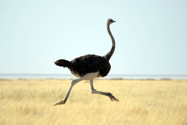 African Animal Facts - Ostrich