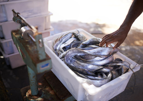 freshly-caught fish being weighed in a plastic box on a set of weighing scales