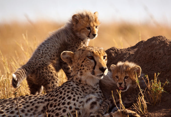 African Animal Facts - Cheetahs