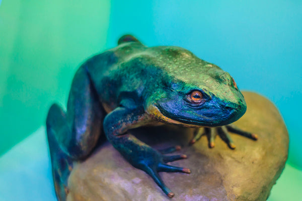 African Animal Facts - Goliath Frog