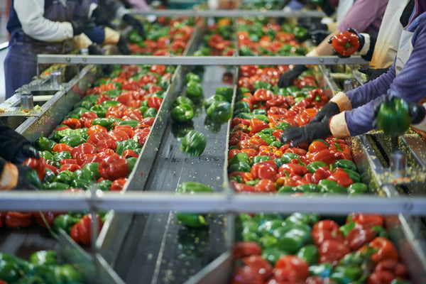bell peppers being sorted on a conveyor belt by workers wearing rubber gloves