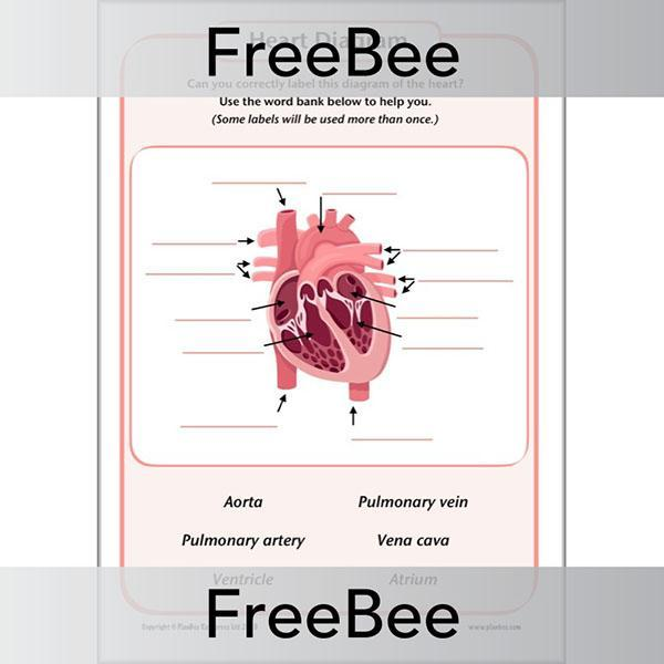 Free Simple Heart Diagram To Label By Planbee