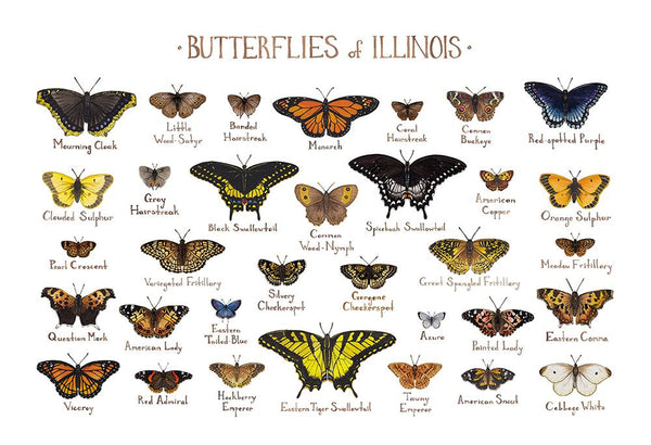 Wholesale Butterflies Field Guide Art Print: Illinois
