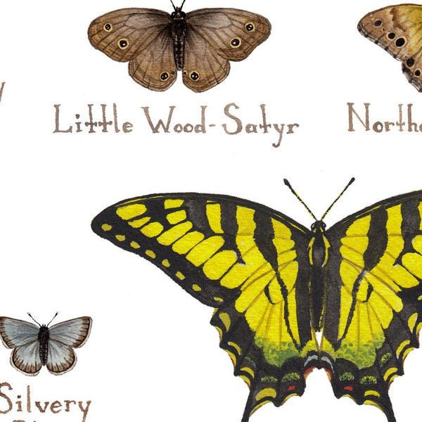 Wholesale Butterflies Field Guide Art Print: Maine