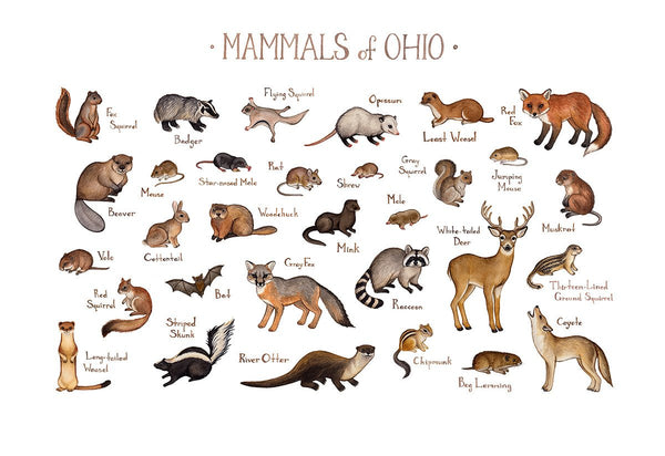 Ohio Mammals Field Guide Art Print
