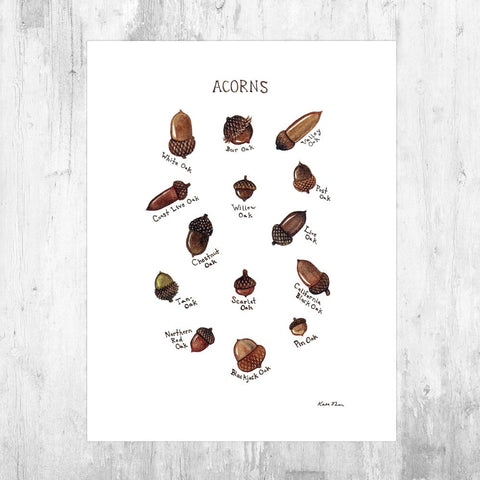 Wholesale Field Guide Art Print: Acorns