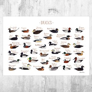 Wholesale Field Guide Art Print: Ducks of North America