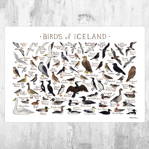 Wholesale Field Guide Art Print: Icelandic Birds