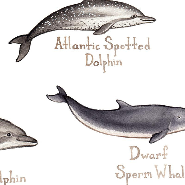 Wholesale Marine Mammals Field Guide Art Print: Florida