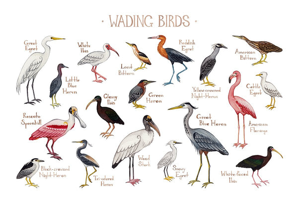 Wholesale Field Guide Art Print: Wading Birds of North America