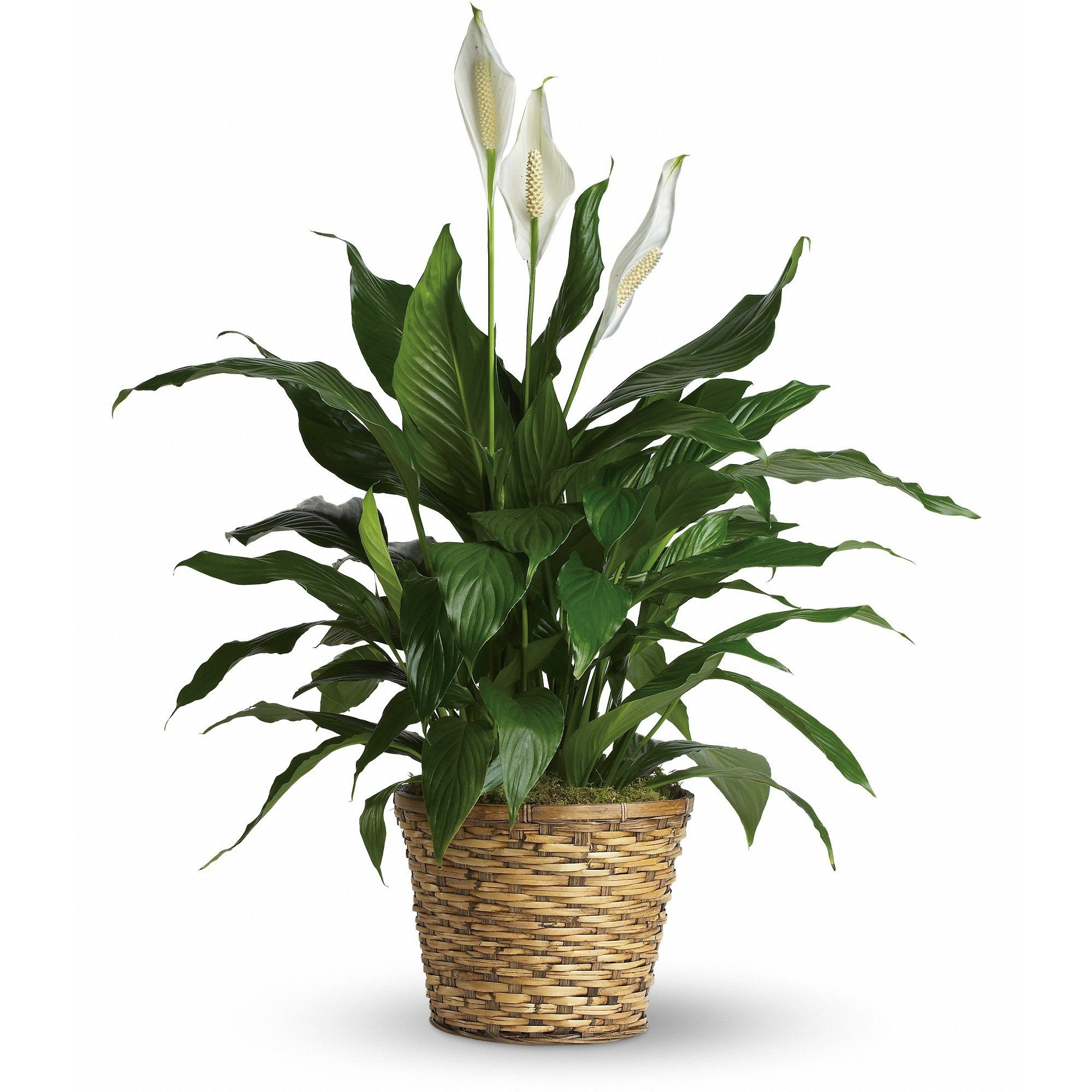 Peace Lily - Blooms In Bloom