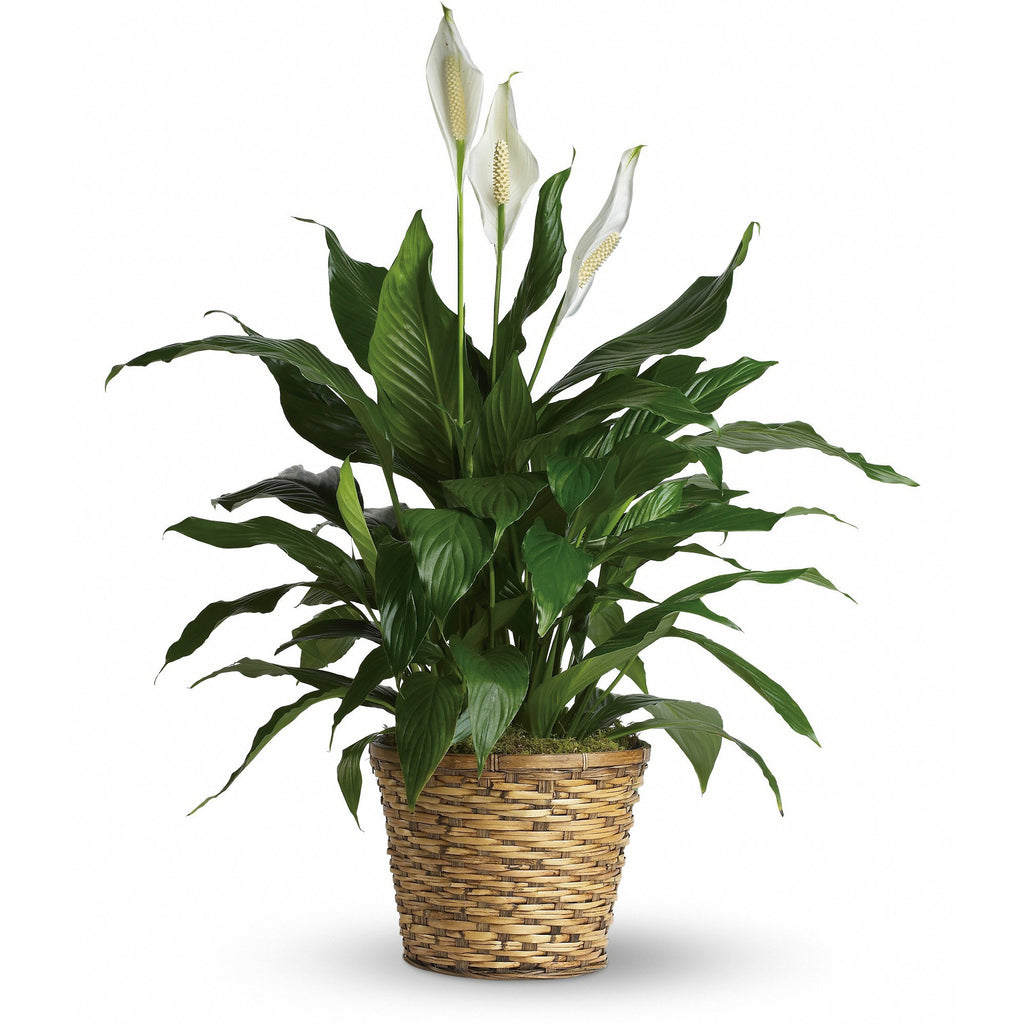 Beautiful Traditional Peace Lily - Blooms In Bloom