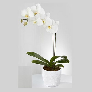 Beautiful Orchid - Blooms In Bloom