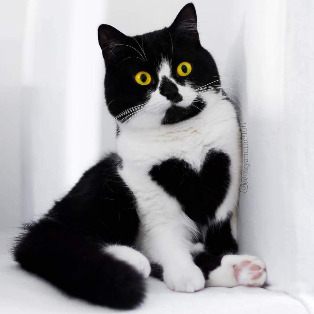 Meet Zoë – an adorable cat who literally wears her heart on her chest.