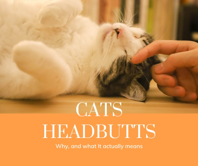 Cats Like Headbutts, But Most People Don't Know What It Actually Means And Why We Do It Back To Them