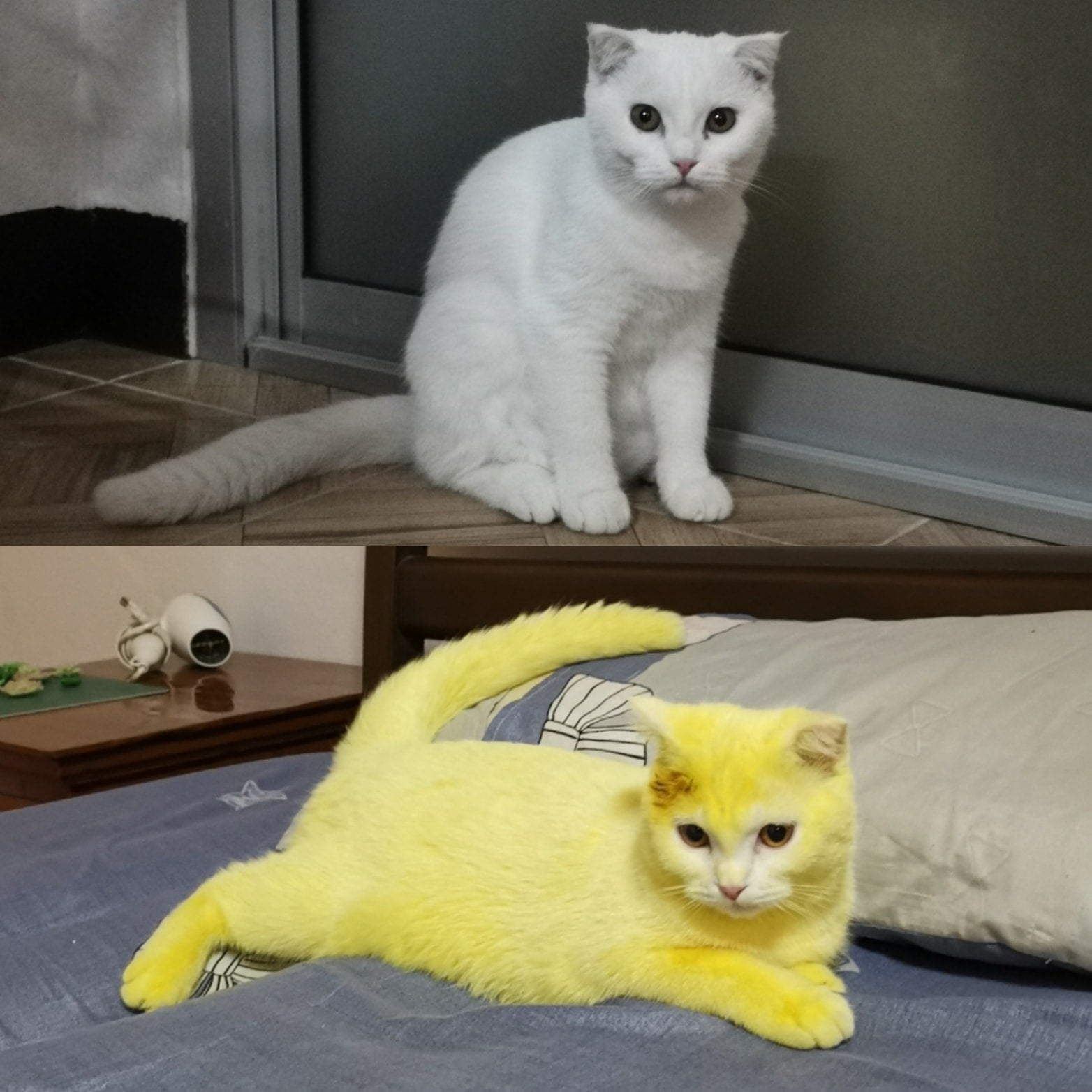 Woman Accidentally Turned Her Cat Yellow With Turmeric Powder So Naturally, She Turned Her Cat Into Pikachu