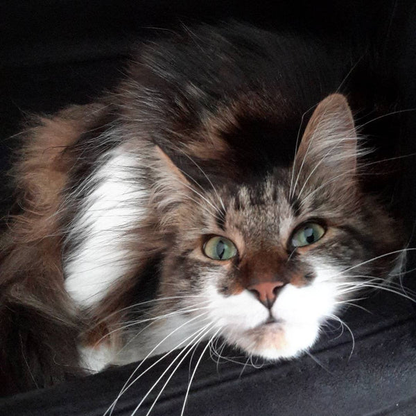 22 Heart-Melting Photos of Maine Coon Shows That They Are The Cutest Breed In The World