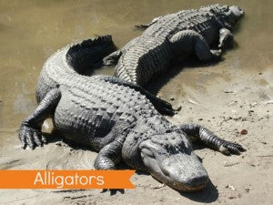 Alligator Updated
