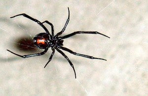 6 Venomous Spiders that May live in your Hometown