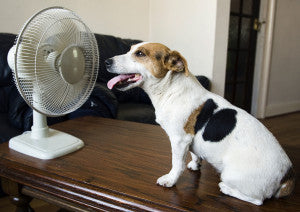 Jack Russell dog sitting in front of a domestic electric fan - dog days