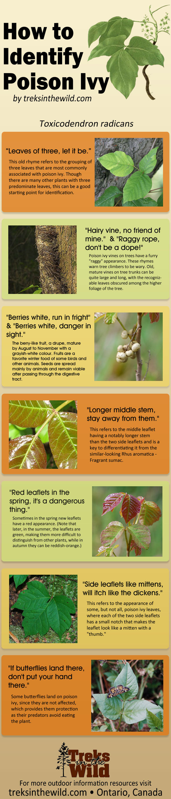 How to Identify Poison Ivy - Infographic