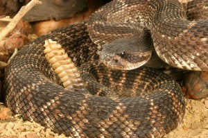 Rattlesnakes at Your Door?