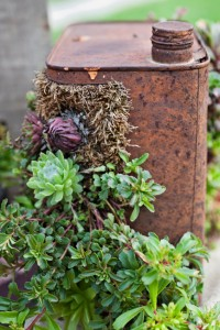 Succulents growing in rusty oil can