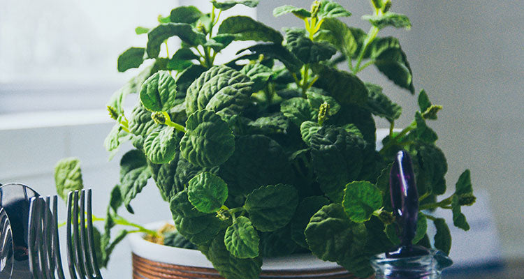 Natural remedy peppermint