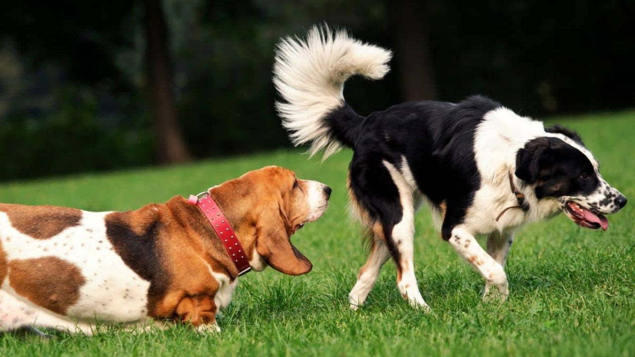 dog sniffing another dog's bum