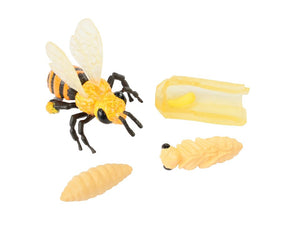 Life Cycle Stages - Honey Bee