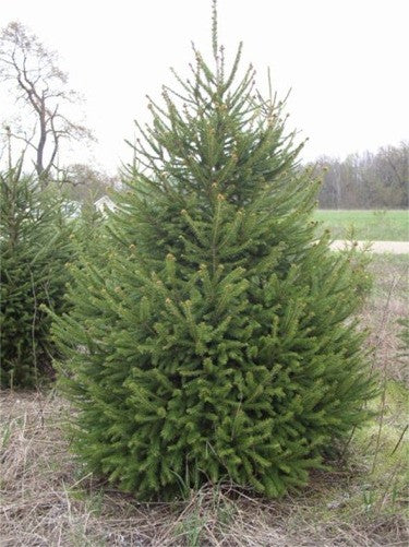4' Norway Spruce
