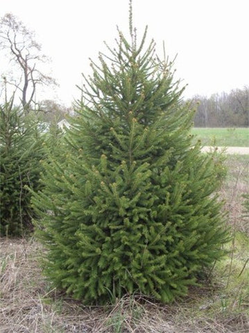 5' Norway Spruce